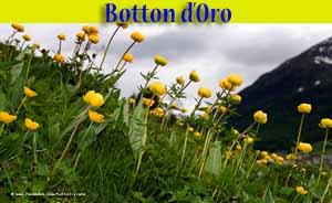 Fiori Gialli Botton Doro.Botton D Oro Trollius Europaeus Fiori Livigno