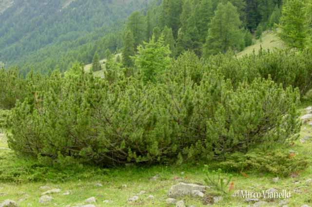 Attractive Flora Di Livigno: Alberi   Pino Mugo   Pinus Mugo